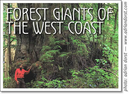 tofino rainforest - forest giants of the west coast