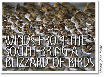 tofino shorebirds - winds from the south bring a blizzard of birds