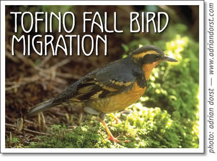 tofino birdwatching - tofino fall bird migration